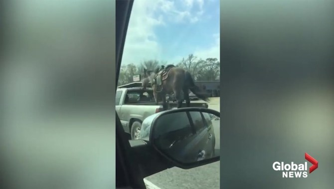 Man cruises down Texas highway with horse standing in back of open pickup truck
