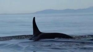 Officials consider plan to capture sick J50 orca for treatment