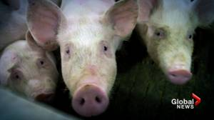 What is ractopamine, the drug banned in China but permitted in Canadian pork?