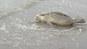 Rehabilitated seal pups released back into the wild