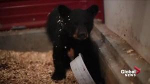 Orphaned bear cub taken in by Cochrane Ecological Institute