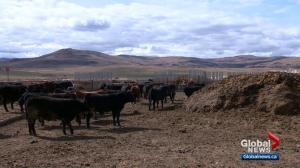 Where does rural Alberta stand ahead of provincial election