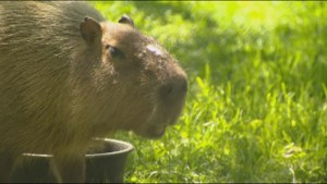 Search continues for missing and elusive capybaras