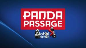 Panda passage opens at the Calgary Zoo