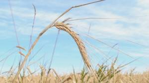 University of Saskatchewan team completes map of wheat genome