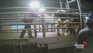 B.C. dairy farm animal abuse