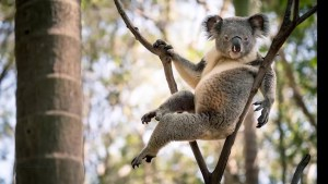 The Morning Show introduces you to Rogue, the world's sexiest koala bear