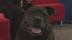 Adopt a Pet: Hugo the Pit Bull Terrier
