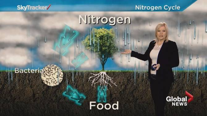 Click to play video: Global News Weather Team Tutorial: the nitrogen cycle