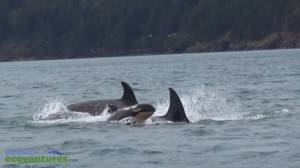 Orca calf spotted in Cowichan Bay