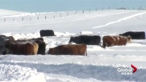 Southern Alberta ranchers working hard to protect cattle in heavy snow