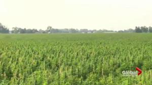 Cannabis legalization brings changes to hemp industry
