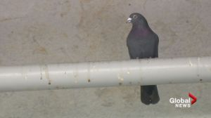 TransLink puts pigeons on the pill to reduce population near SkyTrain station