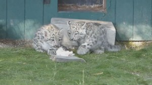 Assiniboine Park Zoo appealing to public to name their new snow leopard cubs