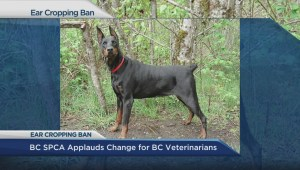 BC SPCA on cosmetic ear cropping ban
