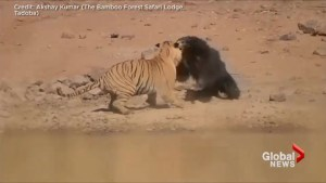 Tiger vs bear: Ferocious fight caught on camera at Indian national park