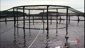 Dalhousie study disputes Ottawa's claims that fish farming is a sustainable industry