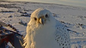 WATCH: Rare gyrfalcon caught on camera at Churchill research station