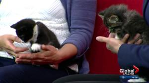 Calgary Animal Services reminds citizens to spay or neuter kittens
