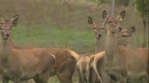 Quebec culling deer to contain chronic wasting disease