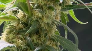 What do kids think about marijuana legalization