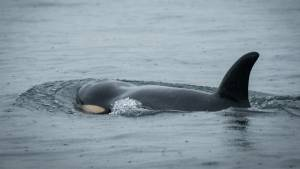 Fate of ailing orca J50 still undecided