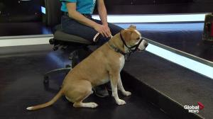Edmonton Humane Society: Xerxes the dog