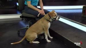 Edmonton Humane Society: Xerxes the dog