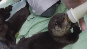Orphaned otters released back into wild