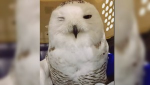 'Tahoe' the owl recovering after run-in with SUV