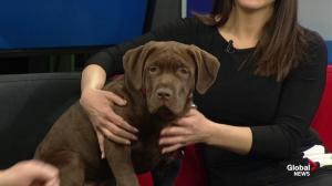Edmonton Humane Society: Lylie the puppy