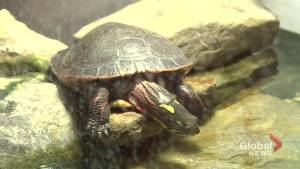 Île-Bizard residents fight to protect turtles