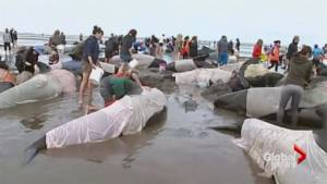 Rescuers rush to save 400 pilot whales beached in New Zealand