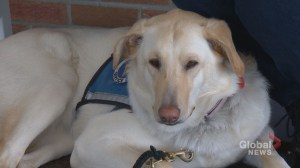 University of Calgary study examines how dogs can help treat chronic pain patients