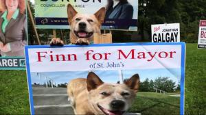 St. John's mayoral election unleashes unlikely candidate