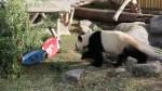 Toronto Zoo's panda predicts Grey Cup winner