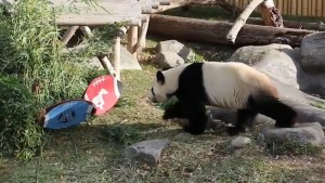 Toronto Zoo's panda predicts Grey Cup winner