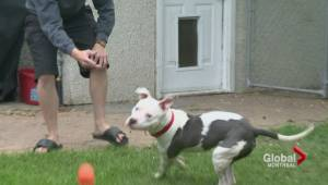 Montreal council votes on pit bull ban (01:42)