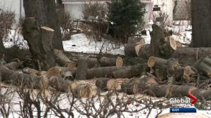 Fate of mature Edmonton trees part of ongoing debate over infill development