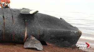 What happens during a whale necropsy?