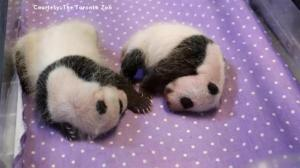 Toronto Zoo releases new videos of baby panda twins