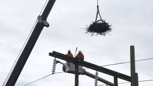 Eagle checks out nest following relocation from fire damaged BC Hydro pole