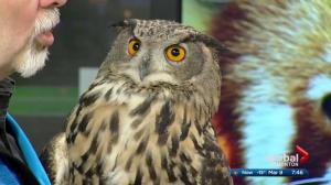 Edmonton Valley Zoo: Vega the Eurasian eagle owl