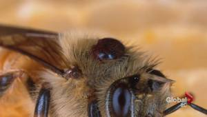 UBC scientists hoping to breed better bees