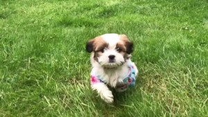 Puppy overdoses on Fentanyl