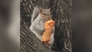 New York City squirrel caught on-camera munching on egg roll