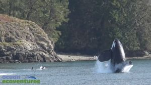 Transient orcas play near Vancouver Island