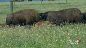 Now hiring: Wanuskewin Heritage Park looking for bison manager