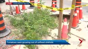 Tomato garden planted in sinkhole after residents fed up with city's lack of action
