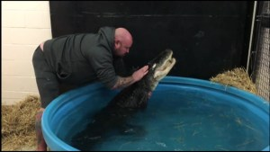 Rescued snapping turtle and alligator in quarantine at Riverview Park and Zoo